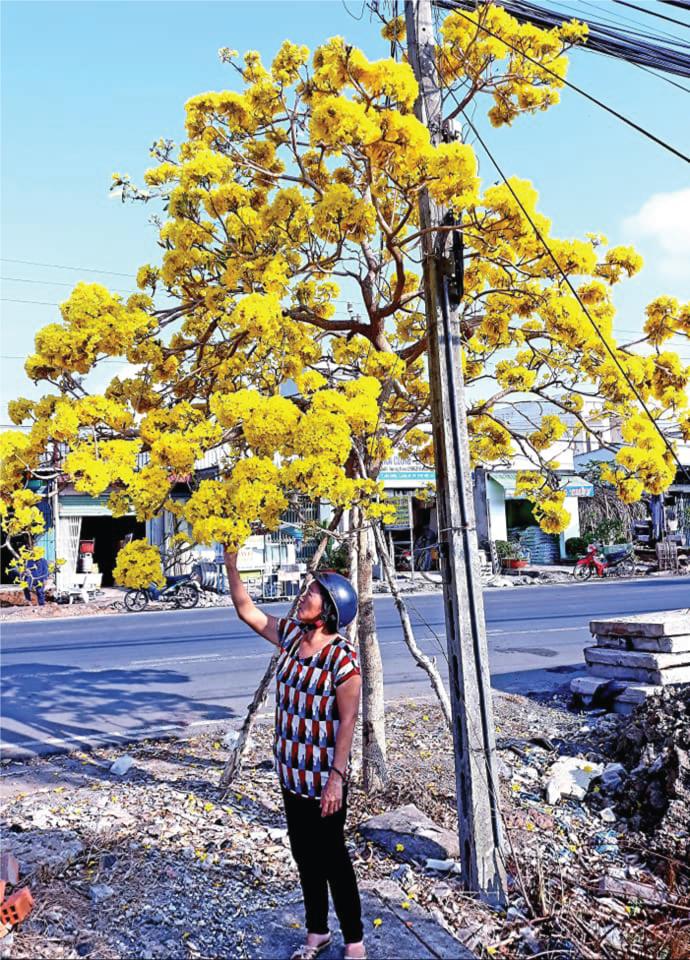 cây chuông vàng nở hoa