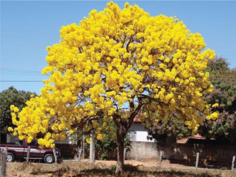 cây chuông vàng trồng vỉa hè
