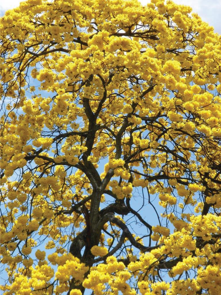 cây chuông vàng