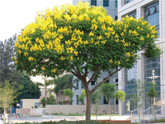 Cây giáng hương hoa vàng trồng vỉa hè