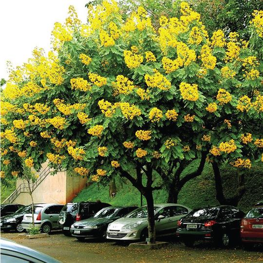 cây giáng hương hoa vàng