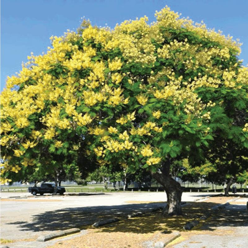 cây lim xét trồng vỉa hè