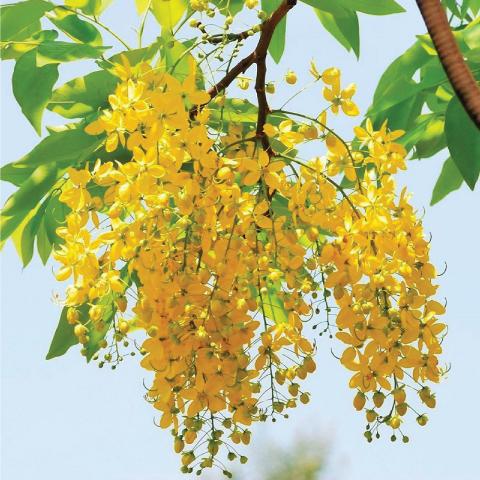 hạt giống osaka vàng