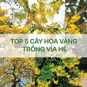 cây hoa vàng trồng vỉa hè